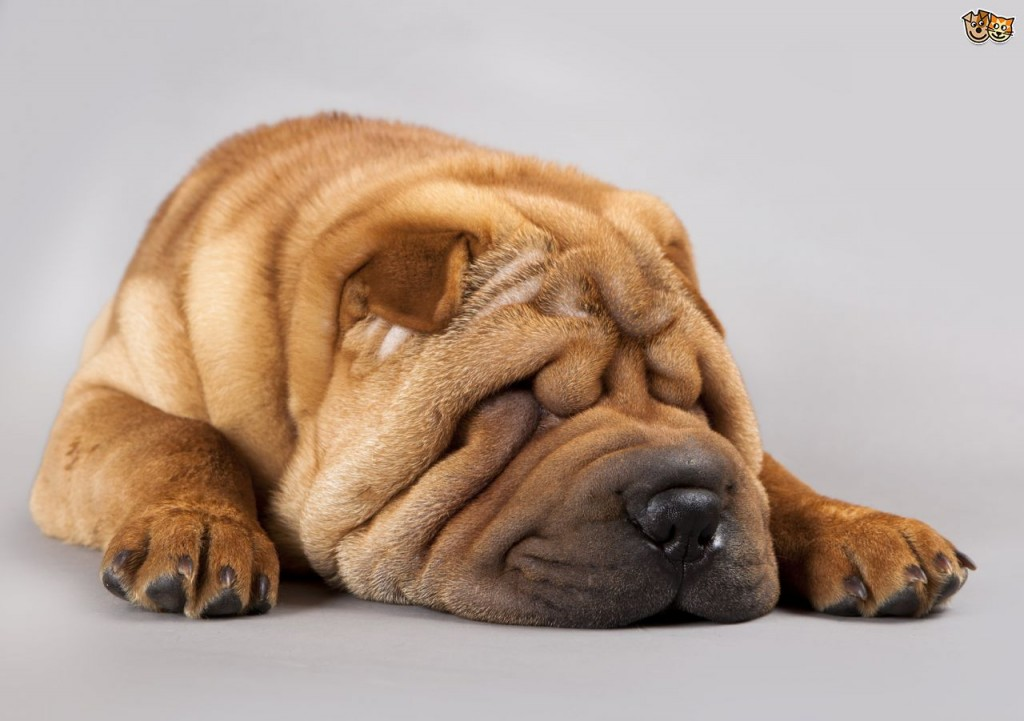 cleaning-the-facial-wrinkles-of-dogs-52e0482ae121e